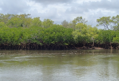 Mangroves Toms Creek