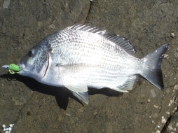 Woody Head bream