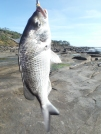 Very good bream