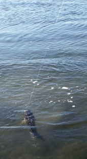 Reeling in another flathead