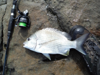 Solid Shark Bay bream