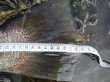 Jewfish Mulloway