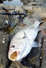 Jewfish / Mulloway