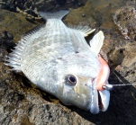 Bream on soft plastics