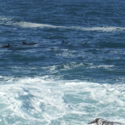 Dolphins at Woody Head