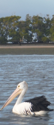 Ruffled cold Pelican