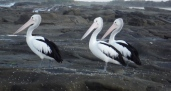 Three wise men - Pelicans