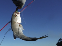 Trevally fight dirty