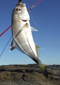 Woody Head trevally