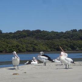 Resident Pelicans
