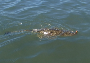 Another flathead