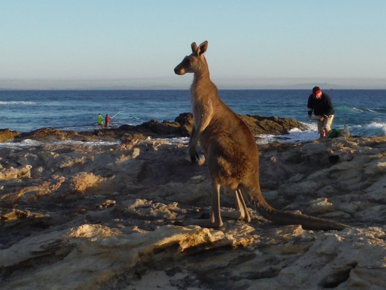 Skippy the Straddie fishing roo