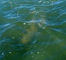 Bribie shark attack