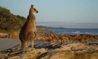 Stradbroke Island Kangaroo