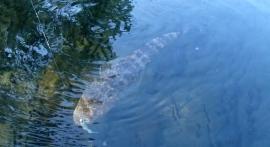 Korogoro Creek flathead