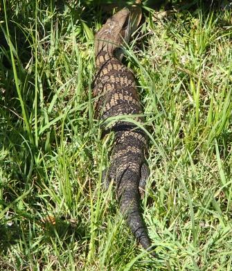 Fat lizard