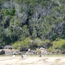 Creek pelicans