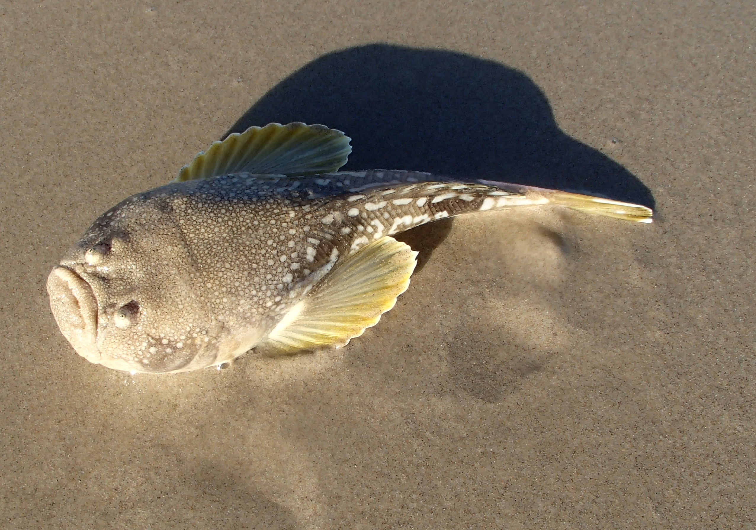 Stargazer landangler 39 s blog for Weird looking fish