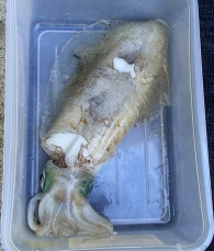 A decent sized squid