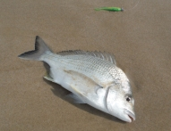 Lime Tiger Bream