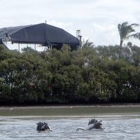 Bribie Pelicans