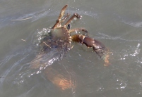 Bribie mud crab
