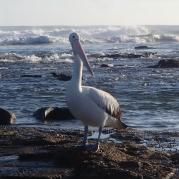 Iluka Pelican