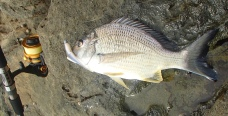 Shark Bay - Bream - Iluka