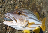 Mouth like a mangrove jack
