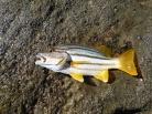 Striper Perch