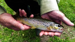 a-small-wild-brown-trout