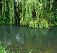 casting-under-the-weeping-willows-is-tricky