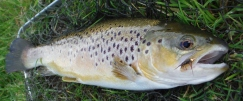 pheasant-tailed-nymph-brown-trout