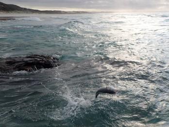 Flying Australian Salmon