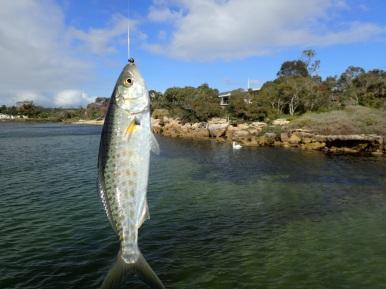 Boat ramp juvenile salmon