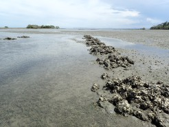 Old oyster beds at low tide