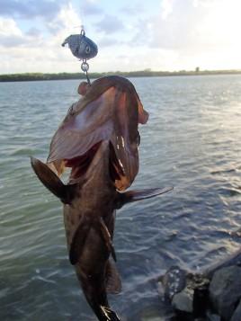 Mackay cod