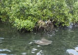 Ray in the shallows under the bridge