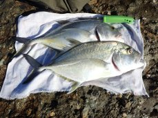 A couple of fresh trevally