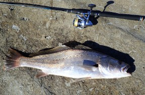 Iluka Bluff jewfish
