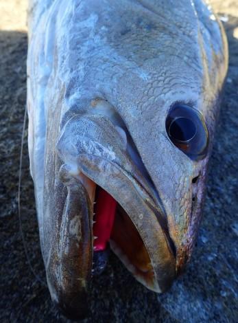 Jewfish like a howling northerly