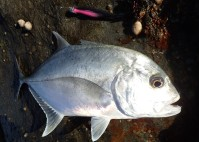 Trevally love soft plastics
