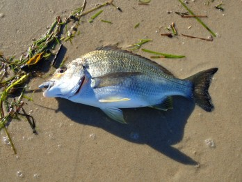 A chubby Bribie bream