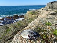 Frasers Reef bream
