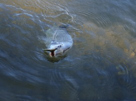 Brunswick River Bream (11)