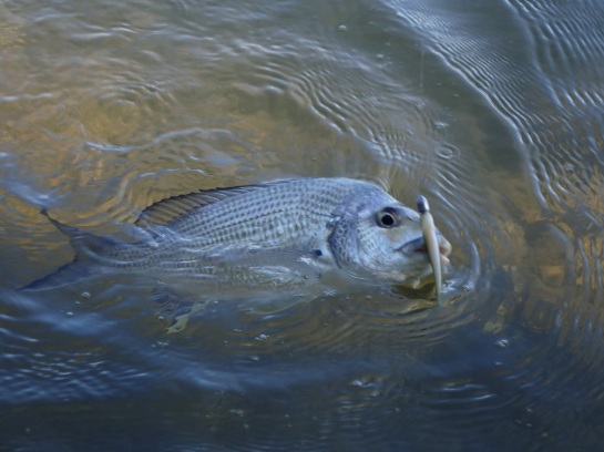 Brunswick River Bream (2) - Copy