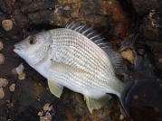 Brunswick River mouth bream