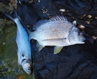 Bream and tailor