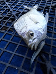 Grunter bream - handsome fish