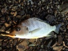 Grunter bream